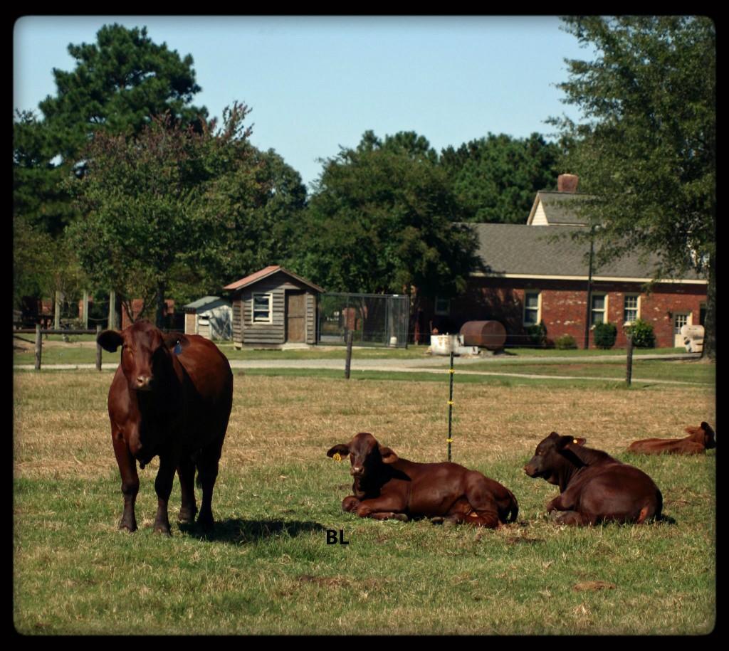 Creech Farm Santa Gertrudis Cow calves 2